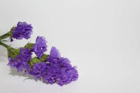 Lavender flower with copy space on right