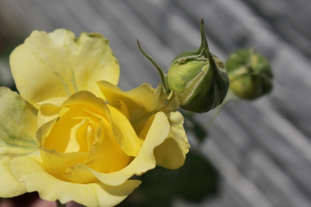 Yellow rose and buds on textured grey background