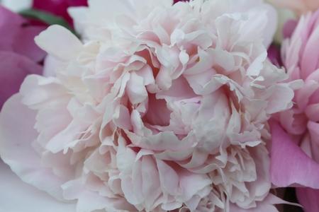 Light pink peony flower close-up Banco de Imagens