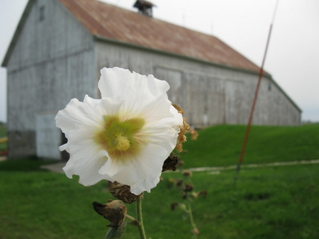 White hollyhock flower with barn in background Stockfoto