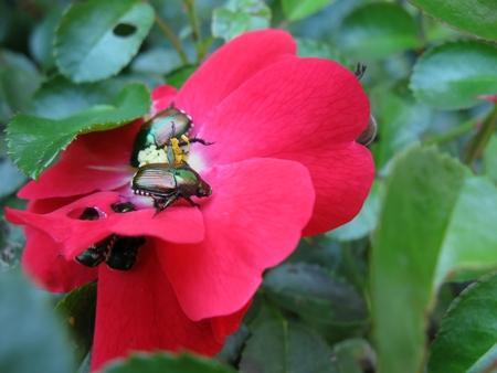 Pink rose being eaten by Japanese beetles