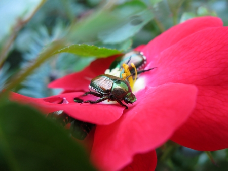 Japanese beetles eating pink rose Reklamní fotografie - 115114360