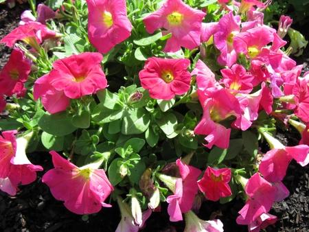 Pink pansy flowers in garden Archivio Fotografico - 115114394