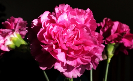 One pink carnation on black background close up, with two carnations in background Zdjęcie Seryjne