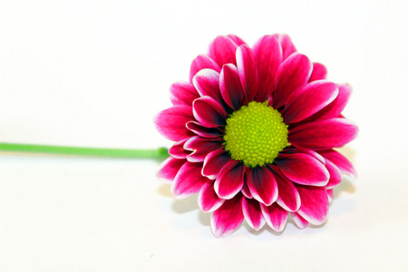 Purple daisy isolated on white background