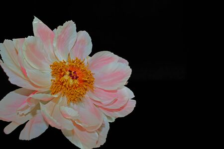 Pink peony on black background Banco de Imagens - 125587102