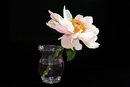 Pink peony in vase with black background