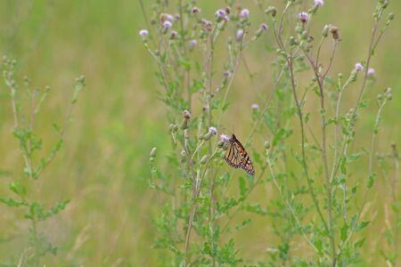 Monarch butterfly and purple thistle Фото со стока