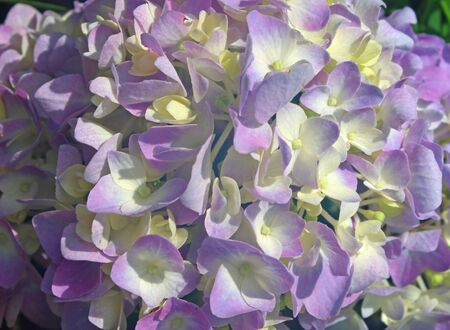 Background of purple and white hydrangea flowers
