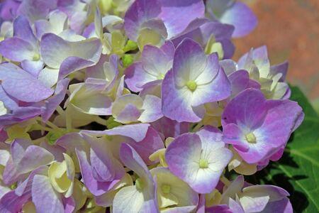 Purple and white hydrangea flowers Zdjęcie Seryjne - 131971974