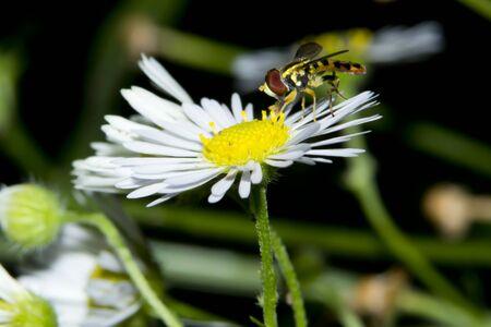 Fly on small daisy flower closeup