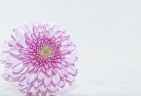 Light purple chrysanthemum flower head isolated on white background with copy space for text on the right