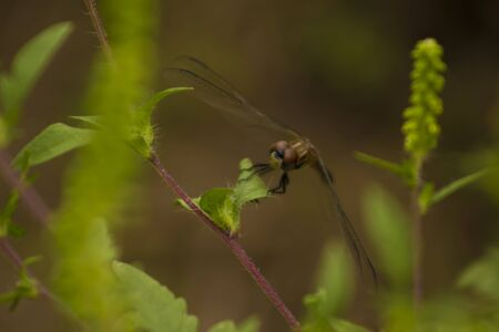 Brown dragonfly with outstretched wings looking at camera
