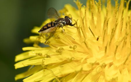 Hoverfly on yellow dandelion