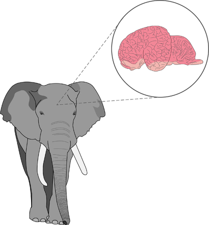 Elephant illustration with magnified view of brain