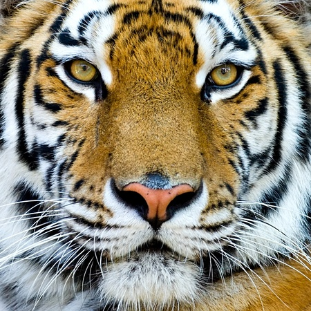 Beautiful tiger cub closeup look formidable  photo