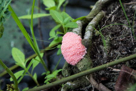 apple snail: Apple snail eggs.