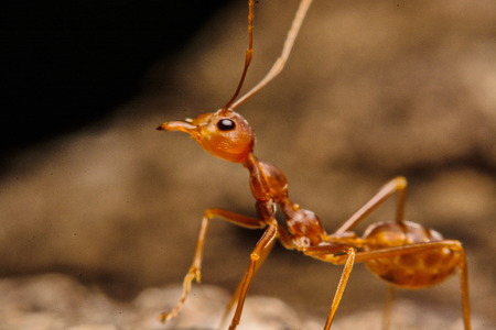 resident: Closeup of ants with a background as a resident Stock Photo