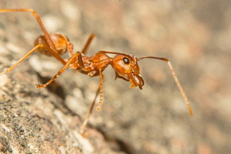 resident: Closeup of ants with a background as a resident. Stock Photo