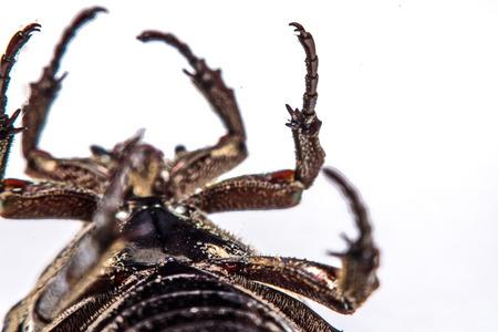 scarabaeidae: Macro Beetle black on white background.