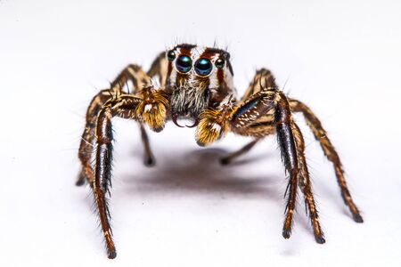 jumper: isolated of jumper spider on white background