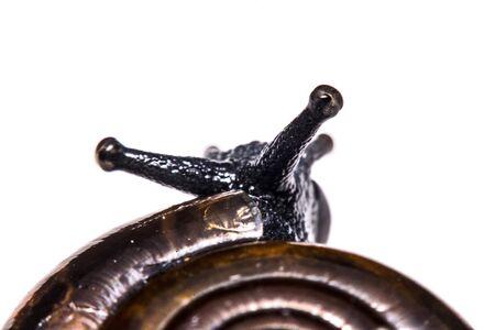 land slide: Macro , Garden close up snail on white background