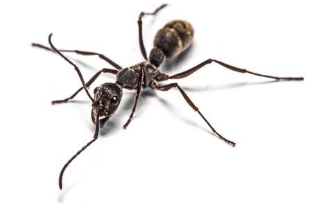 entomology: closeup of ants on a white background Stock Photo