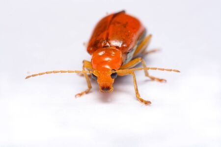 to flit: Close up Cucurbit leaf beetle, Aulacophora indica on a white background