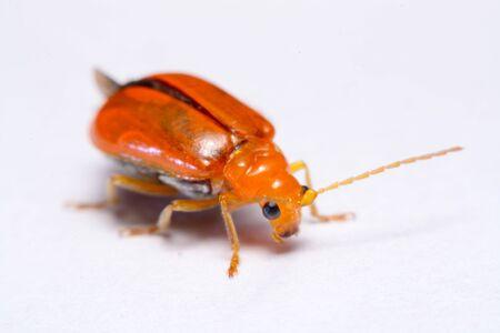 cucurbit: Close up Cucurbit leaf beetle, Aulacophora indica on a white background