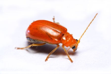 forthcoming: Close up Cucurbit leaf beetle, Aulacophora indica on a white background