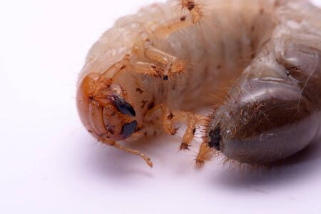 wingless: stag beetle larva white background.