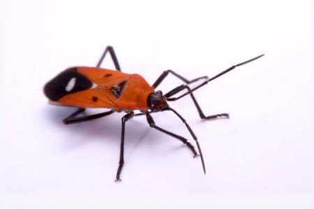 pentatomidae: insect red stink bug, Melamphaus rubrocinctus, isolated on white