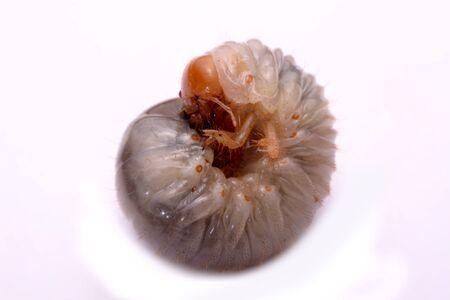 repugnant: stag beetle larva white background.