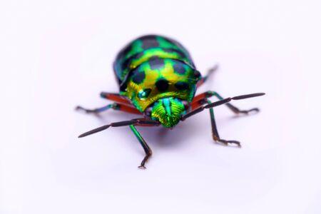 graphosoma: Close up Rainbow shield bug holding (Calidea dregii) on a white background.