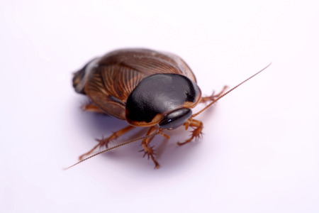 hiss: Cockroach species living in Thailand (Burrowing cockroach) on a white background.