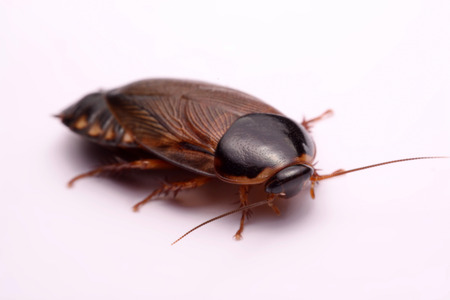 burrowing: Cockroach species living in Thailand (Burrowing cockroach) on a white background.