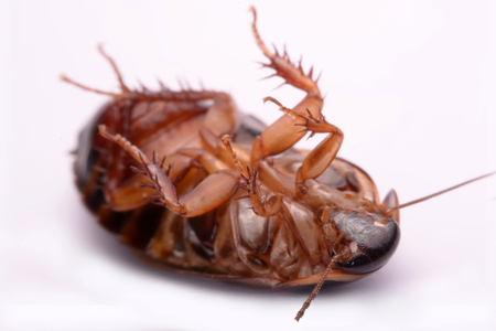madagascar hissing cockroach: Cockroach species living in Thailand (Burrowing cockroach) on a white background.