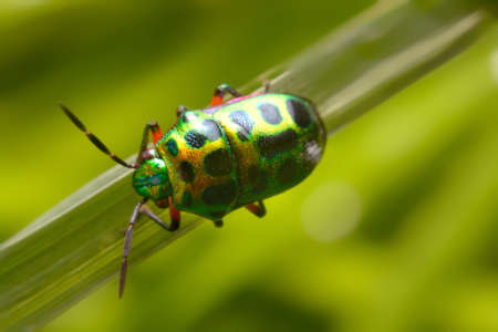 graphosoma: Rainbow shield bug holding grass