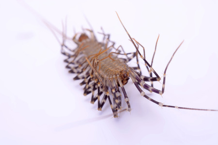 dozens: Scutigera smithii Newport (long-legged house centipede) on a white background.