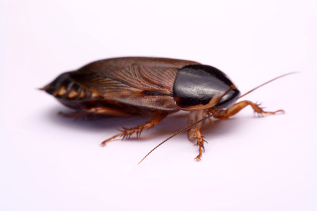 species living: Cockroach species living in Thailand (Burrowing cockroach) on a white background.