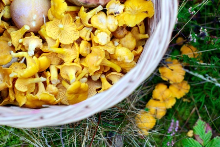 Basket full of chanterelles Stock Photo - 15521769
