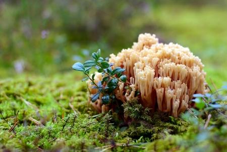 Coral mushroom (Ramaria formosa) close-up, beautiful forest background Stock Photo