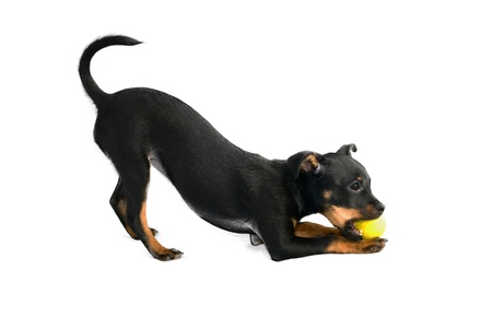 Cute puppy of russian toy-terrier,playing with tennis-ball Stock Photo - 16025472