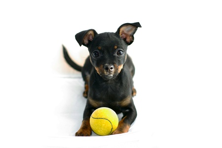 Cute puppy of russian toy-terrier, posing with tennis-ball Stock Photo - 16025471
