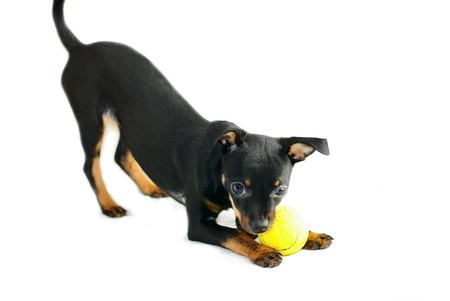 Cute puppy of russian toy-terrier,playing with tennis-ball Standard-Bild