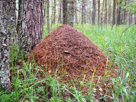 ant leaf: Hormiguero cerca de pino, fauna