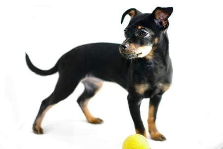 Cute puppy of russian toy-terrier, playing with tennis-ball photo
