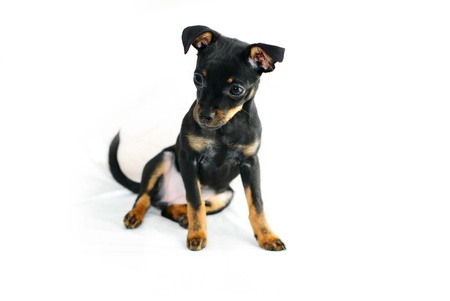Cute puppy of russian toy-terrier, sitting. Isolated on white. photo