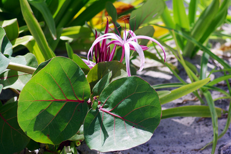 greenery: Pink Spider Lily flower between exotic greenery