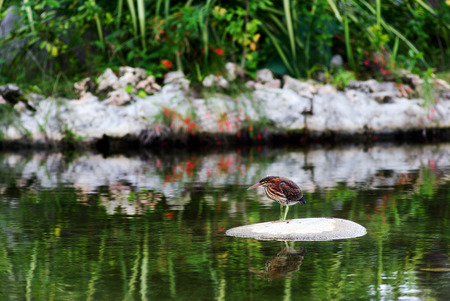 await: The green heron stand still on stone in pond and await prey